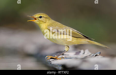 Willow warbler crying loudly near a waterpond - Stock Photo