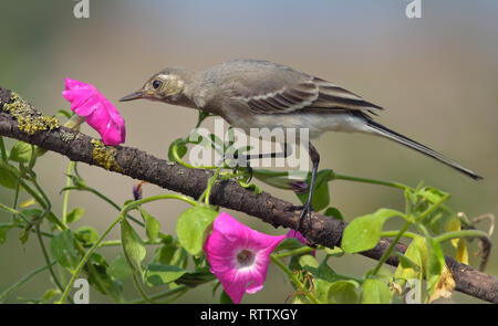 White wagtail gets a sniff of a magenta flower - Stock Photo