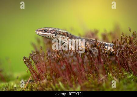 The viviparous or common lizard Zootoca vivipara in Czech Republic