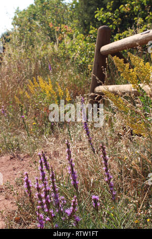 Purple and yellow wildflowers growing around a wooden fence on the Trading Post Trail in Red Rocks Park, Colorado, USA in late summer. - Stock Photo