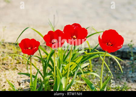 Tulip flower garden in spring. Tulips with red petals blossoming on sunny day. Love, passion, romance. Spring, summer season. Nature, beauty, environment - Stock Photo