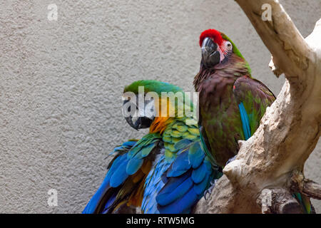 Two macaw birds with vibrant feathers sit next to each other on a tree branch in an enclosure. - Stock Photo