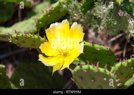 yellow flower of a cactus in park close-up - Stock Photo