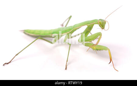 mantis isolated on white background close-up macro - Stock Photo
