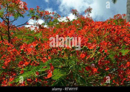 Red flowering tree of Royal Poinciana, Delonix regia, Sigatoka Sand Dunes National Park, Viti Levu,  Fiji - Stock Photo