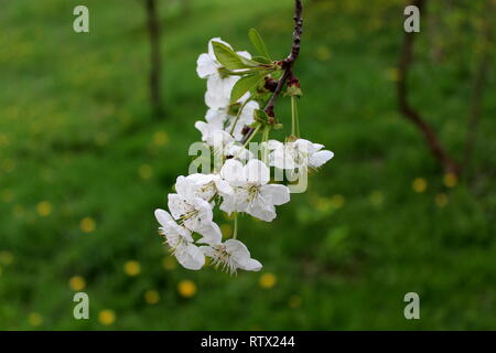 Apple branch with bunch of fully open blooming bright white flowers planted in local garden on green grass background on warm sunny day - Stock Photo