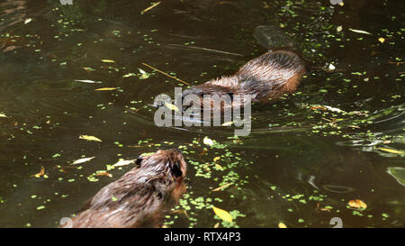 European beaver (Castor fiber) swimming in pond covered with lakes, only wet head visible, another animal swims in opposite direction. - Stock Photo