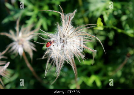 Red and black insect bug on top of strange white hairy flower planted in local garden surrounded with green leaves and other plants in back - Stock Photo