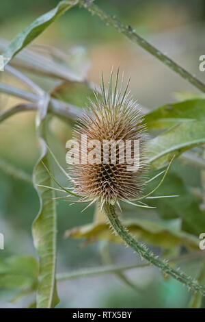 Close up of a wild card, in the background leaves - Stock Photo