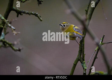 Goldcrest bird (Regulus regulus) sitting on a branch - Stock Photo