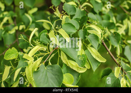 Small leaved lime (Tilia cordata) leaves and fruits growing on tree branches - Stock Photo