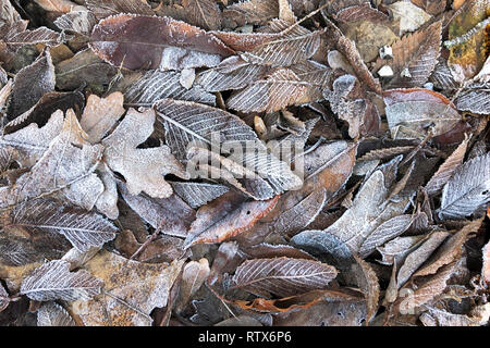 Dried autumn leaves, covered with hoarfrost lie on ground.  Winter season background. - Stock Photo