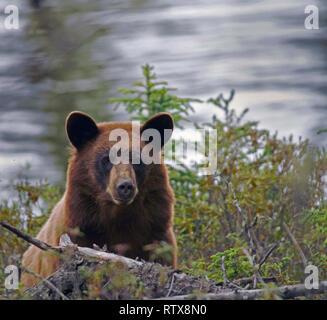 A black bear at home in northern Saskatchewan, Canada - Stock Photo