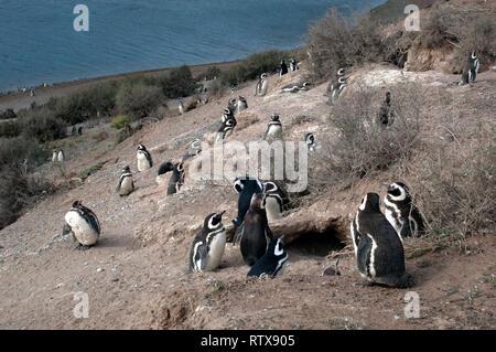 Magellanic Penguins, Spheniscus magellanicus, at the San Lorenzo Pinguinera, Valdes Peninsula, Chubut, Patagonia Argentina