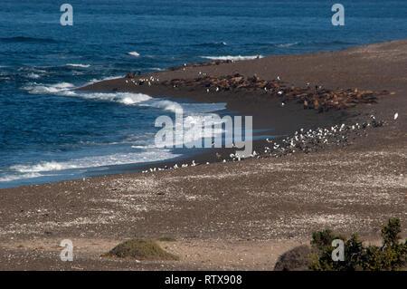 Patagonian sea lions, Otaria byronia, rest at Punta Nova beach, Valdes Peninsula, Chubut, Patagonia Argentina - Stock Photo