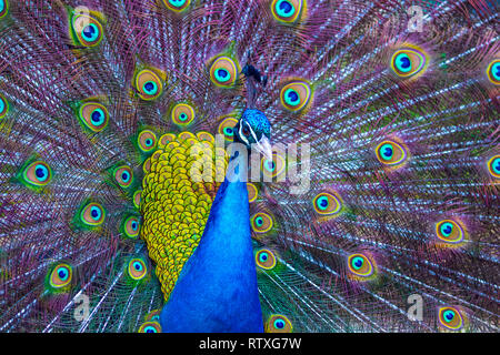 A Peacock displaying it's beautifully coloured plumage. Stock Photo