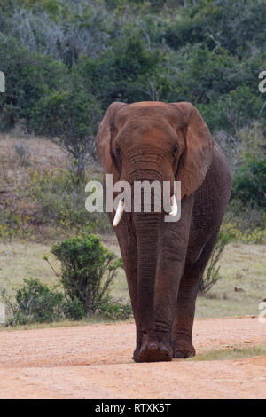African bush elephant (Loxodonta africana), adult male, walking on a dirt road, Addo Elephant National Park, Eastern Cape, South Africa, Africa - Stock Photo