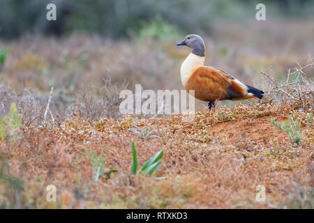 South African shelduck (Tadorna cana), adult male, on the nest, in open grassland, Addo National Park, Eastern Cape, South Africa, Africa - Stock Photo