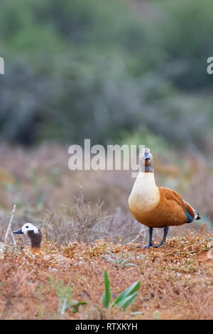 South African shelducks (Tadorna cana), adults, female with standing male, on the nest, in open grassland,Addo National Park,Eastern Cape,South Africa - Stock Photo
