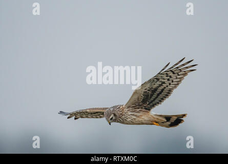 Female Hen harrier(Circus cyaneus) in flight and hunting over a stretch of Norfolk farmland. - Stock Photo