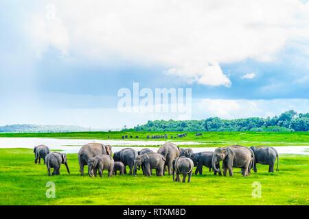 View on Herd of elephants in Kaudulla national park, Sri Lanka - Stock Photo