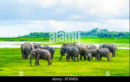 View on Herd of elephants in Kaudulla national park, Sri Lanka - Stock Photo