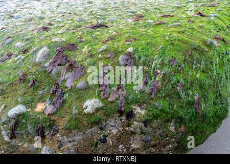 Seaweed on Old Sea Wall On Whidbey Island - Stock Photo