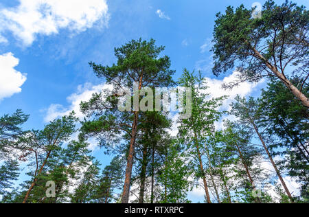 Crowns of tall pine trees in the forest against a blue sky in sunny day - Stock Photo