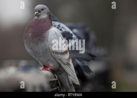 Pigeons and doves constitute the animal family Columbidae and the order Columbiformes, which includes about 42 genera and 310 species. They are stout- - Stock Photo