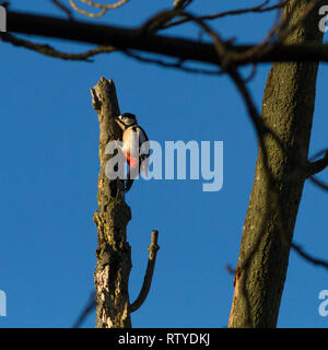 Male greater spotted woodpecker (Dendrocopos major) seemingly asleep on a dead tree stump - Stock Photo