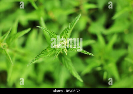 Shallow depth of field photo, only few flowers and leaves in focus, Young stinging nettle (Urtica dioica) plant, with blurred background shot from abo - Stock Photo