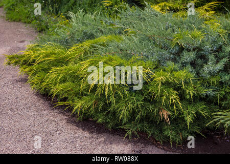 Background of the shrub of juniper at selective focus on a blurred background of other evergreen plants in summer - Stock Photo