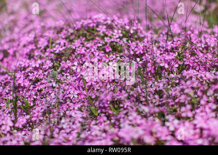 Shallow depth of field photo, only few blossoms in focus, pink / lilac flowerbed. Abstract flowery spring background. - Stock Photo