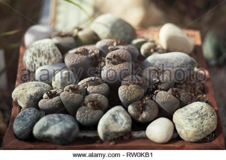 Living Rock Cactus Flower Stock Photo 32800283 Alamy