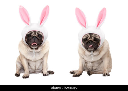 funny little easter pug puppy dogs, sitting down, wearing easter bunny cap with ears, isolated on white background - Stock Photo