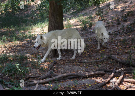 Pair of white wolves (Canis lupus arctos) walking in forest together. - Stock Photo