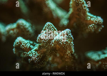 Underwater photo, close up of green coral emiting fluorescent under UV light. Abstract marine background. - Stock Photo