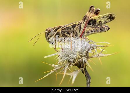 Cross Grasshopper Oedaleus decorus in Croatia, Krk - Stock Photo