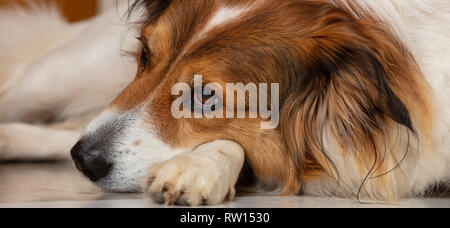 Sad dog. Cute white brown dog of a greek sheperd breed, laying on the floor, closeup view on head - Stock Photo