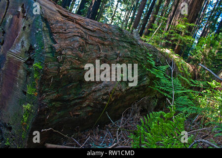 Single trunk in the redwoods of Muir Woods, California - Stock Photo