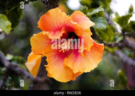 Beautiful Orange and Yellow Hibiscus - Stock Photo