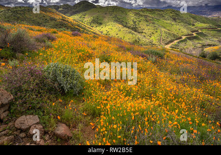 Wildflower Super Bloom - Stock Photo