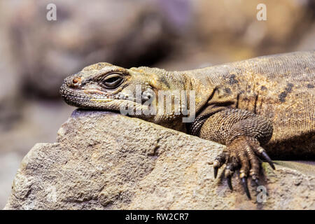 Chuckwalla,  Sauromalus ater are found primarily in arid regions of the southwestern United States and northern Mexico - Stock Photo