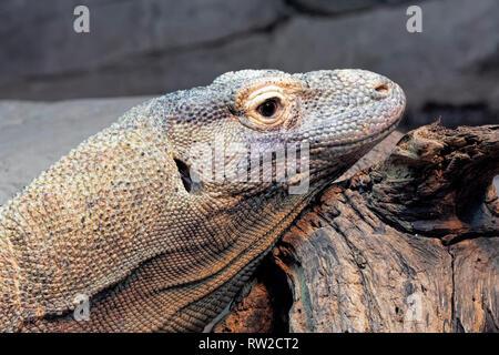 Komodo dragon, Varanus komodoensis also known as the Komodo Monitor is a species of lizard native to the Indonesian islands of Komodo, Rinca, Flores,  - Stock Photo