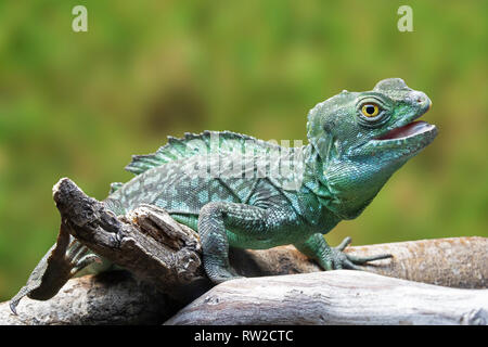 Green Basilisk, Basiliscus plumifrons is native to the rainforests of Crenral America - Stock Photo