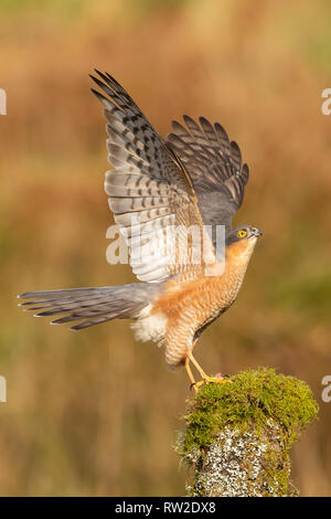 A male sparrowhawk (Accipiter nisus) perched on a tree stump spreads his wings and looks to the skies to deter any potential threats - Stock Photo
