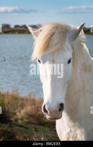 Portrait of white horse in Camargue, France near Les salines of Villeneuves Lès Maguelone, Montpellier, France - Stock Photo