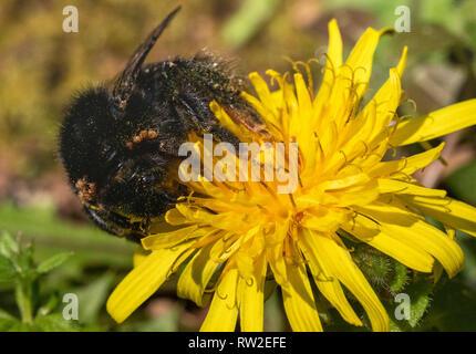 Bumble Bee in  Winter Feeding on a Dandelion Flower (Taraxacum vulgaria). Shows Infestation of Bumblebee Mites (Parasitellus fucorum). Mite on Plant. - Stock Photo