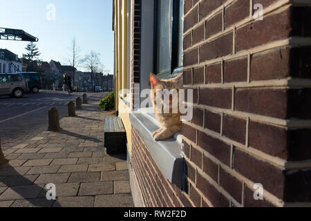 Leiden, Holland - February 27, 2019: Ginger pet cat is looking curiously out of the window - Stock Photo