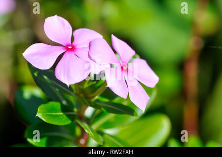 LUDWIGIA ADSCENDENS, PERIWINKLE PLANT OR WATERCRESS - Stock Photo